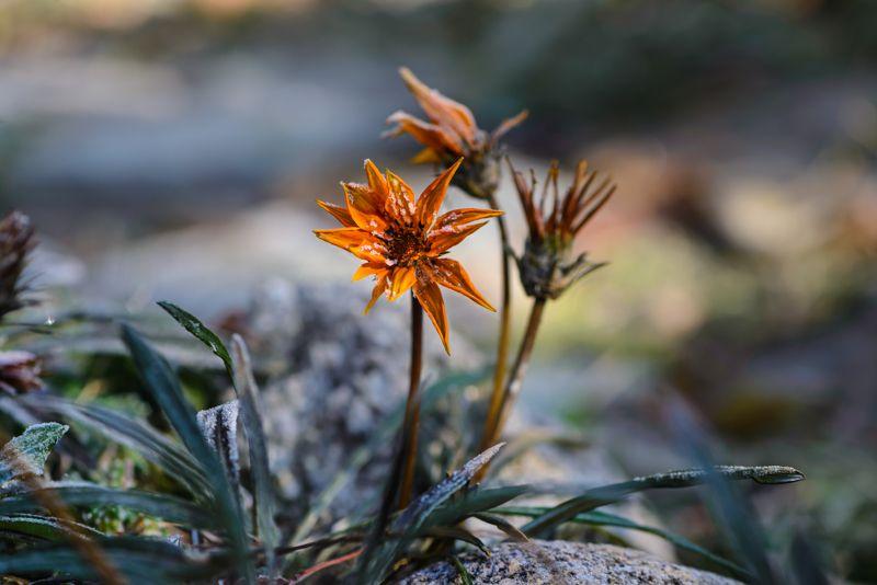 природа, макро, осень,  цветы, гацания, мороз, иней Замороженныйphoto preview