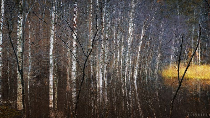 карелия, берёзки, болото, осень, атмосфера. Магия болот.photo preview