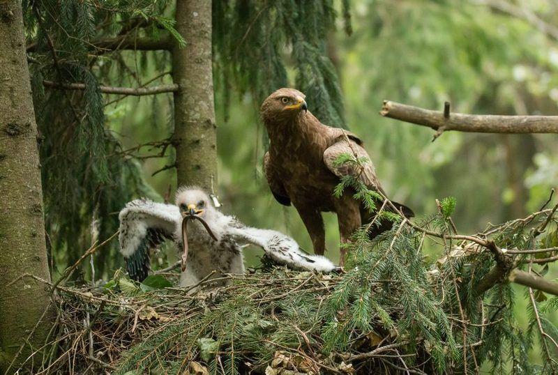 птицы, подорлик, птенец, гнездо,  Родительская заботаphoto preview
