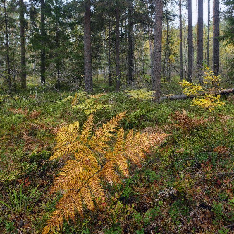 лес папоротник осень Ждёмс...photo preview