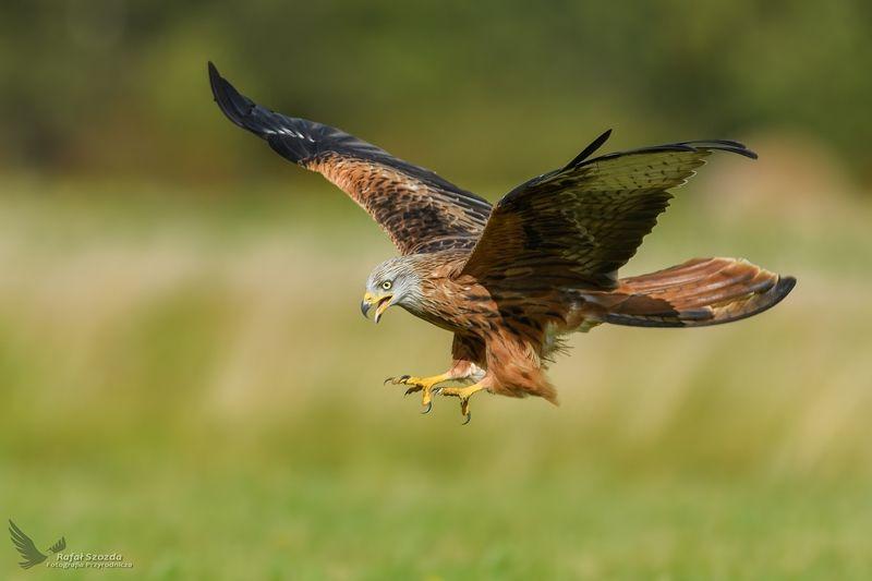 red kite, birds, nature, animals, wildlife, colors, meadow, autumn, nikon, nikkor, lens, flight, lubuskie poland Kania Ruda, Red Kite (Milvus milvus) ... 2017rphoto preview