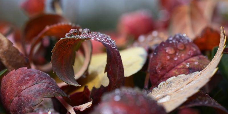 природа, макро, осень, опавшая листва, капли дождя, красный, Красная капеллаphoto preview