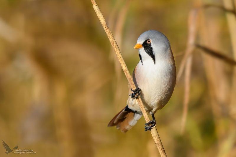 birds, nature, animals, wildlife, colors, autumn, nikon, nikkor, lens, lubuskie, poland Wąsatka, Bearded Parrotbill (Panurus biarmicus) ... 2017rphoto preview
