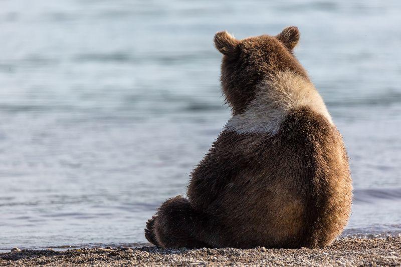 Камчатка, лето, природа, путешествие, медведь, животные Мотя груститphoto preview