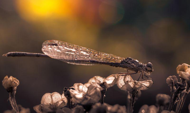 природа, макро, стрекоза, Меднокрылаяphoto preview