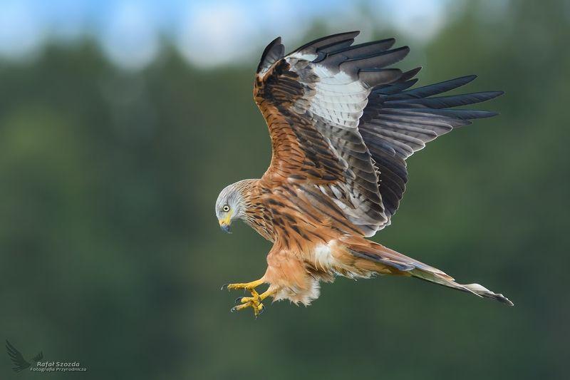 red kite, birds, nature, animals, wildlife, colors, meadow, autumn, nikon, nikkor, lens, lubuskie, poland Kania Ruda, Red Kite (Milvus milvus) ... 2017rphoto preview
