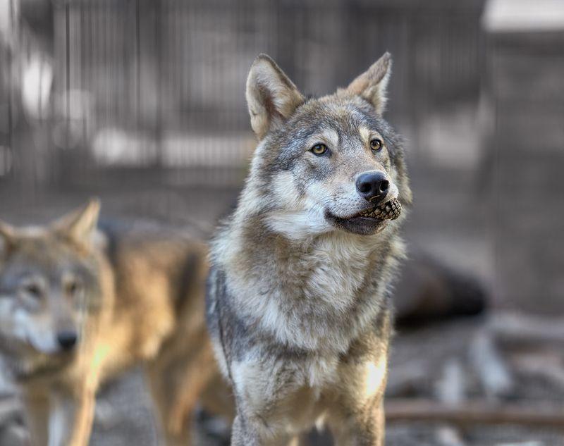 Волк-шишкоедphoto preview