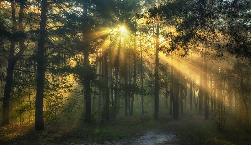landscape, пейзаж, утро, лес, сосны, деревья, солнечный свет, солнечные лучи, солнце, природа, тропинка, прогулка утро в лесуphoto preview