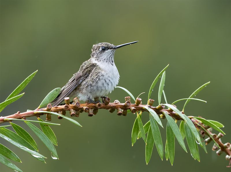 колибри, ruby-throated hummingbird, hummingbird Колибри - Hummingbirdphoto preview