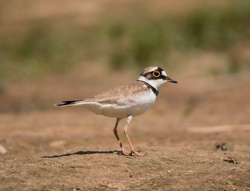 птицы, зуек,  Желтоглазыйphoto preview