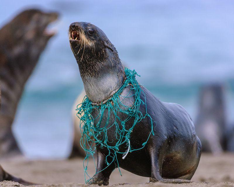 северный морской котик Люди ! За что ?photo preview