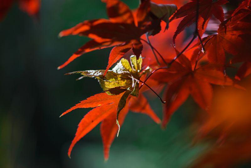 природа, макро, осень, клен японский дланевидный, красный, опавший лист, Пожар Октябряphoto preview