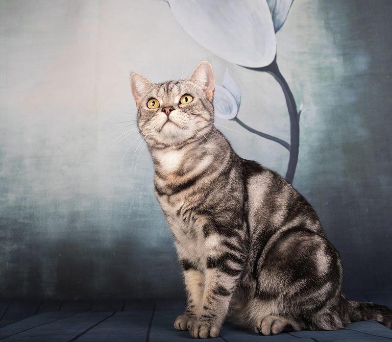 сat, кошка, животные, кошки,американский короткошерстный кот, american shorthair cat, рыжик, ginger Маркиз и Рыжикphoto preview