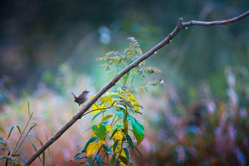 Troglodytes troglodytes, Eurasian wren, Крапивник, bird Le Petit Princephoto preview