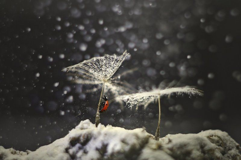 Winter ladybugphoto preview