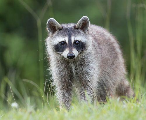 Енот-полоскун - Raccoon