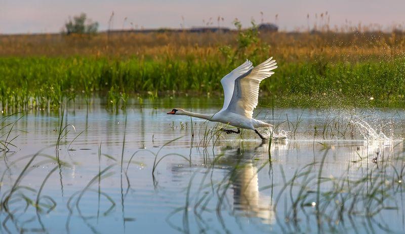 лебеди, река, вода, птицы, дельта волги, камыш. Дикие лебеди в дельте Волги.photo preview