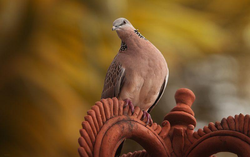 природа, животные, птицы, индонезия Кокеткаphoto preview