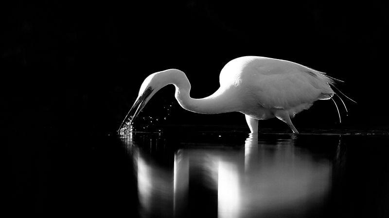 bird,birds,nature,wildlife,great egret,black & white, b & w , птицы,  птица , большая белая цапля , дикая природа , фауна , Black & Whitephoto preview