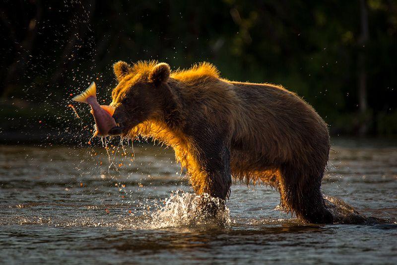 Камчатка, лето, природа, путешествие, медведь, животные Вечерний уловphoto preview