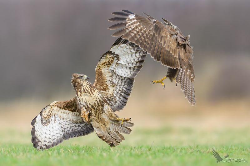 birds, nature, animals, wildlife, colors, meadow, fight, flight, nikon, nikkor, lubuskie, poland Myszołowy, Common Buzzard (Buteo buteo) ...  2017rphoto preview