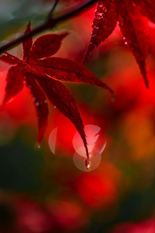 природа, макро, осень, клен японский дланевидный, красный, капли дождя Красный  хороводphoto preview