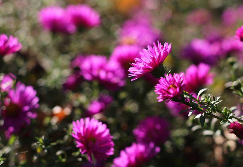 цветы, сентябрины Последние цветыphoto preview