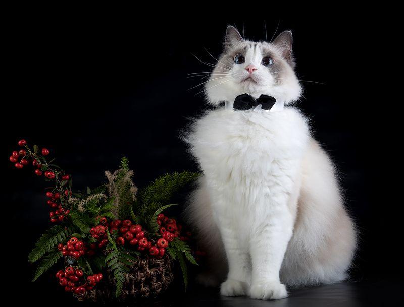 сat, кошка, животные, кошки, ragdoll cat, ragdoll,  рэгдолл, ragdoll, тыква, листья, ягоды Mатильда - Ragdoll Cat (Matilda)photo preview