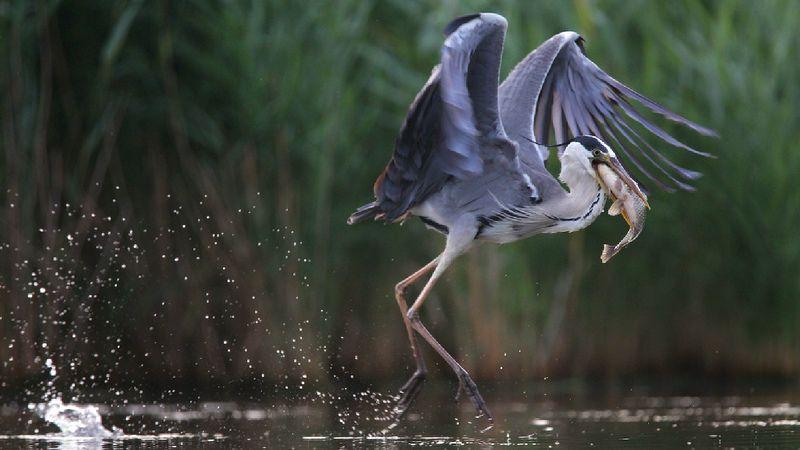 birds,nature,wildlife,grey heron,fish,fishing,rostov region,серая цапля,птицы,дикая природа,фауна,рыба,рыбалка, С уловомphoto preview