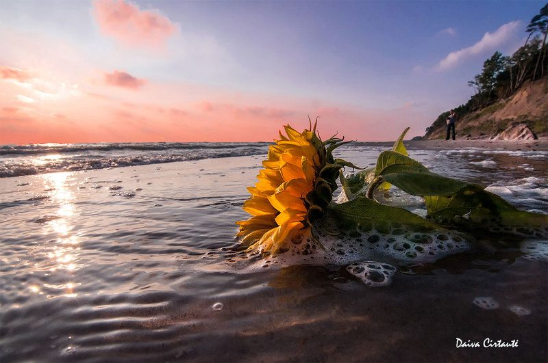 sunflower,sunset,sea,seascape Sunflower sunsetphoto preview