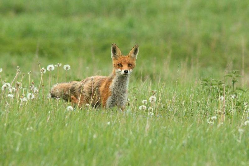 лисица, поле, Время охотыphoto preview