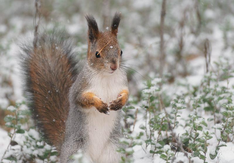 печора,коми,север,белка,осень,снег Белка северной осениphoto preview
