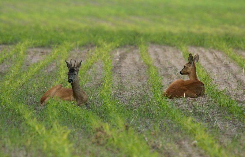 косули, дикие животные, Полуденный отдыхphoto preview