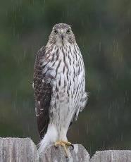 Полосатый ястреб - Sharp-shinned Hawk