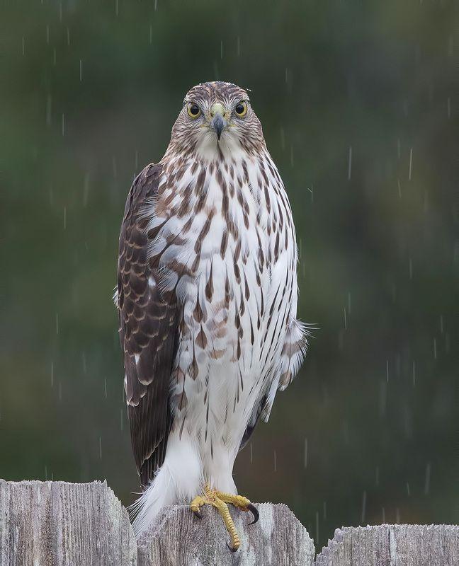 полосатый ястреб, sharp-shinned hawk, ястреб, hawk Полосатый ястреб - Sharp-shinned Hawkphoto preview