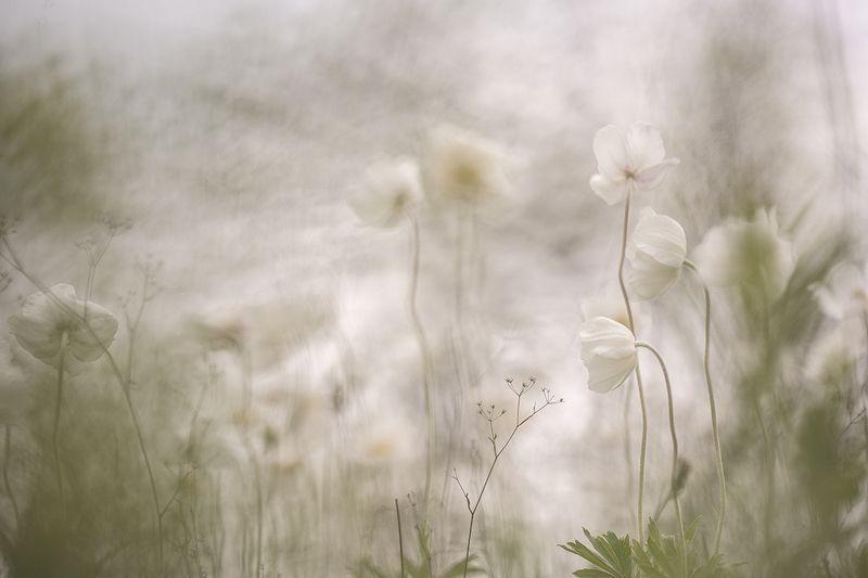 ветреницы, цветы, свет, цвет, весна, воронеж, нежность, Нежность ветрениц...photo preview