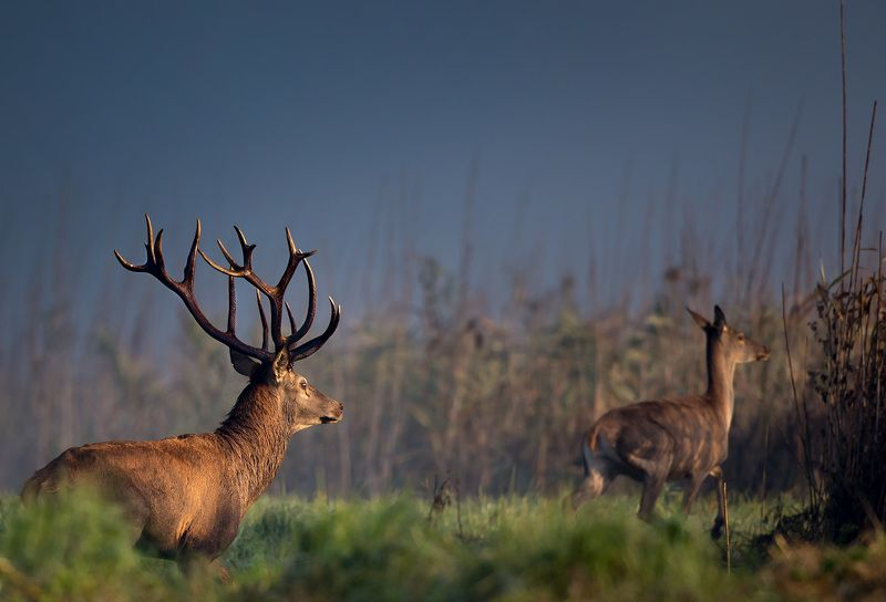 red deerphoto preview