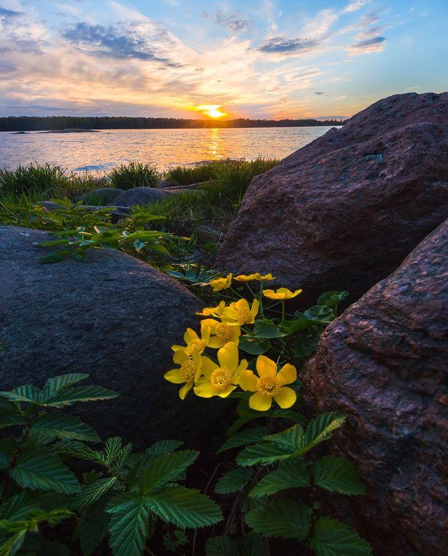 ленинградская область, закат, цветы, весна, камни, гранит, калужница, небо, залив, крупный план. Цветы калужницы и гранитные камниphoto preview