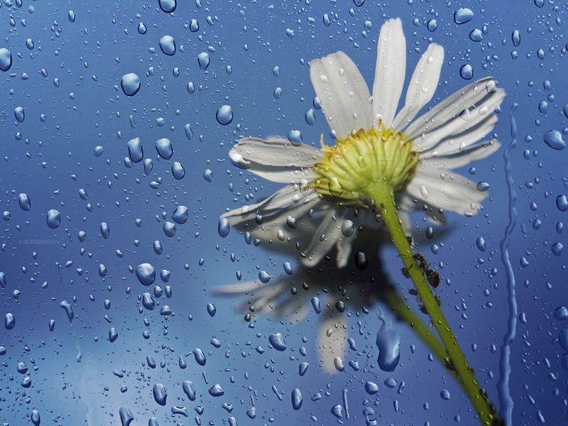 ромашки, цветы, капли дождя ***photo preview