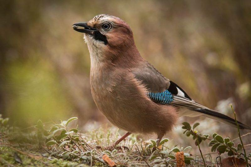птицы, сойка,  Портрет в обмен на угощение.photo preview