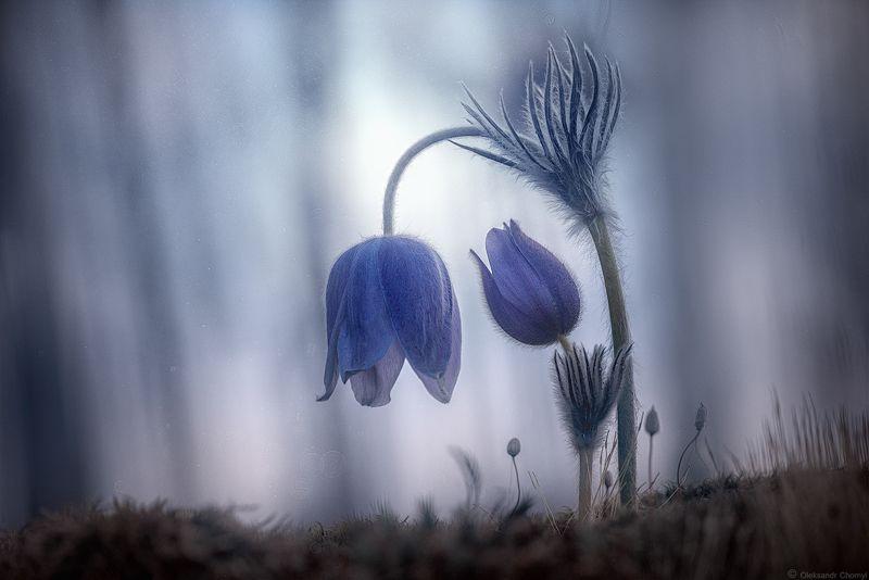 украина, коростышев, весна, лес, красота, макро, макро мир, природа, макро-красота,  сон трава, нежность, ...а помнишь, как мы гонялись за солнцем?photo preview
