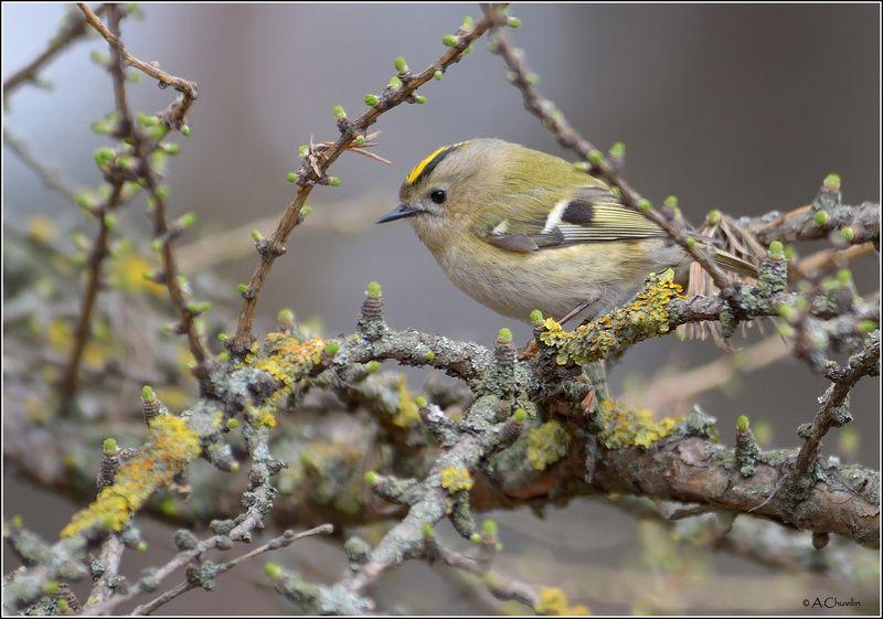птица,королёк,апрель В весенней рамеphoto preview