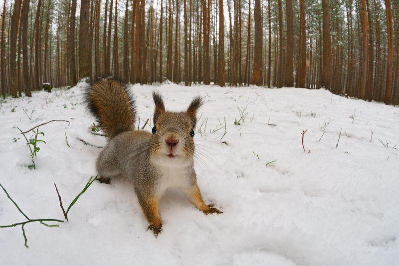 печора,коми,север,белка,осень,снег Беличьи историиphoto preview