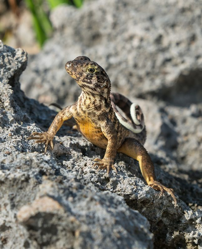 curly tail lizard, cuba Curly Tail Lizardphoto preview
