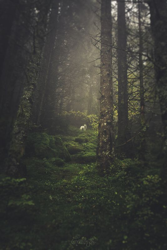 nature, forest, dogs, wolf, nature photographe, landscapes, france, alps, mist, pagan, soul, escape, trees, fog Moro No Kimiphoto preview