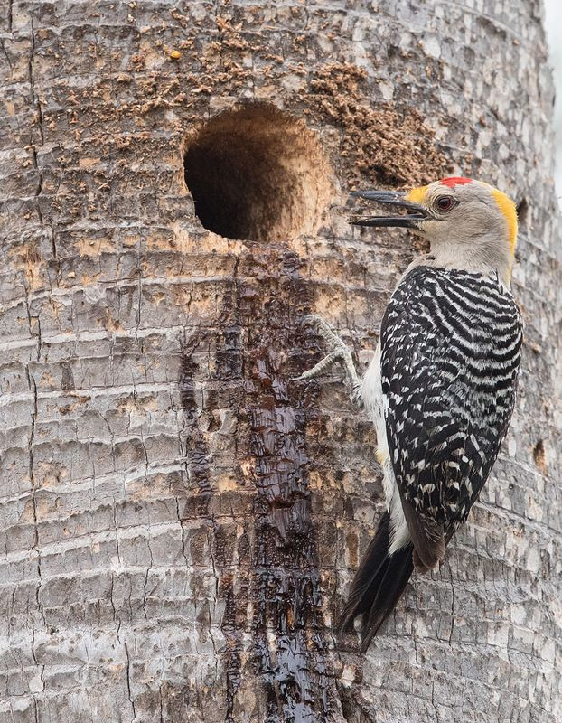 золотолобый меланерпес, golden fronted woodpecker,woodpecker, texas, tx, дятел Золотолобый меланерпес -Golden fronted Woodpecker.photo preview
