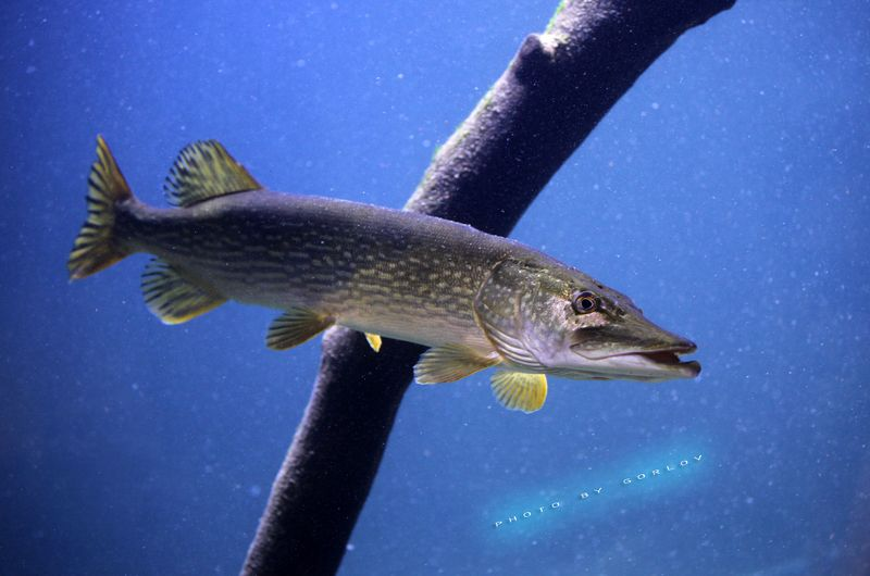 pike, fish Pikephoto preview