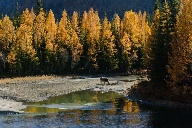 Золотая осень в Горном Алтаеphoto preview
