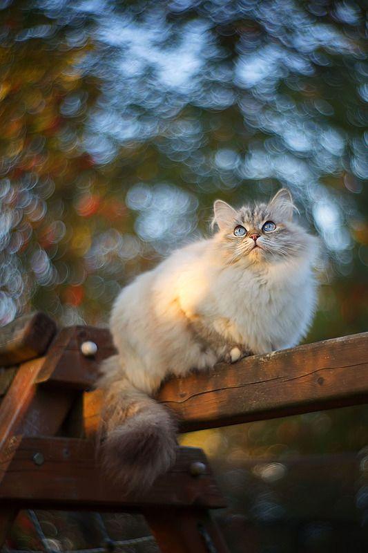 кот, кошка, животные, боке, петцваль Сентябрьское бокеphoto preview