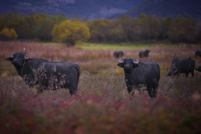 буйвол, природа, осень, болгария, Буйволыphoto preview